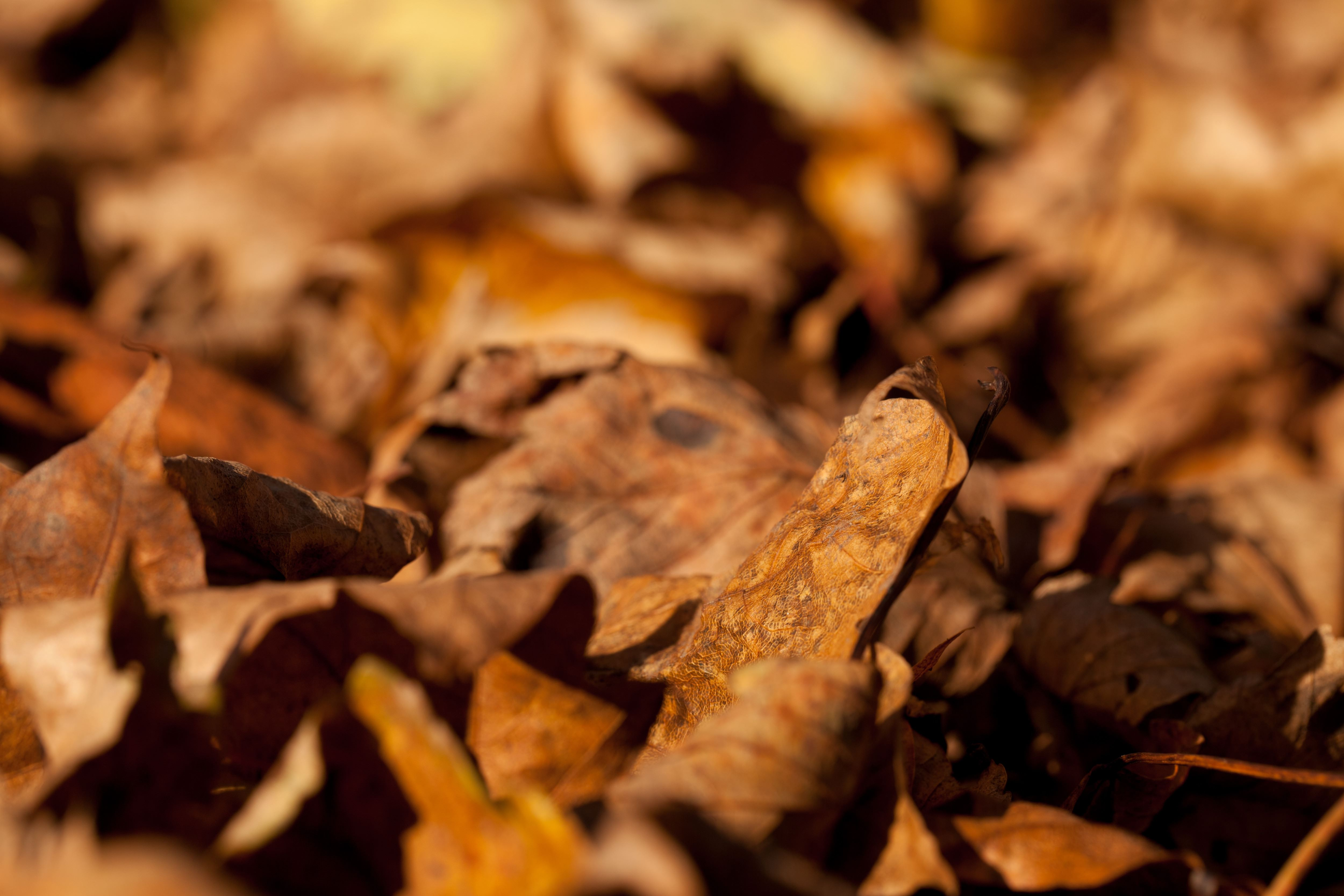 brown leaves background11