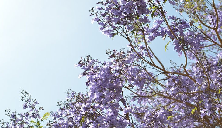 purple-tree