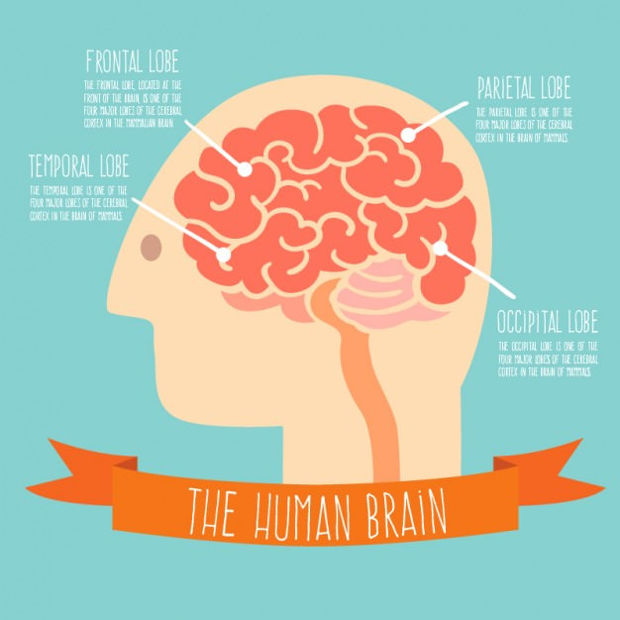 Human Brain Lobe Vector