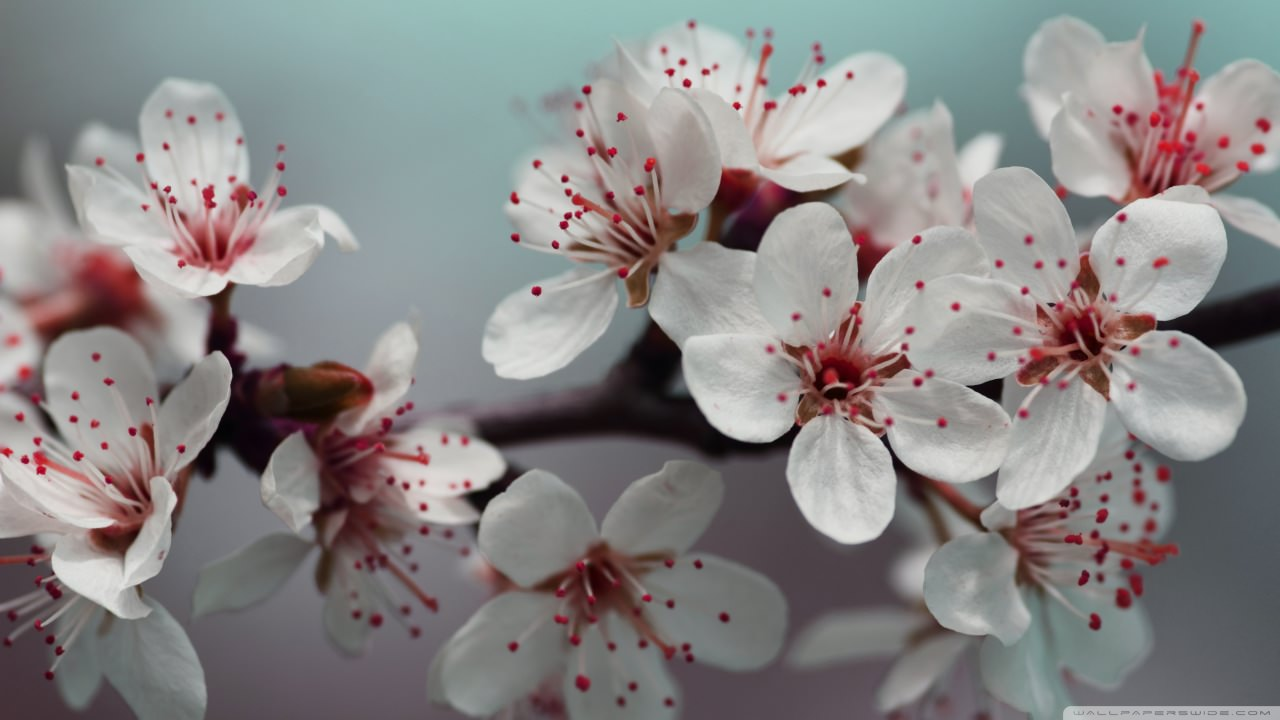 blossoms spring background