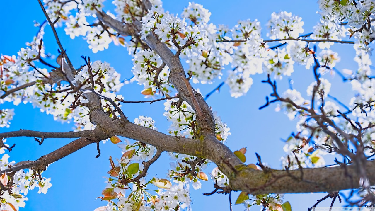spring pear tree background1