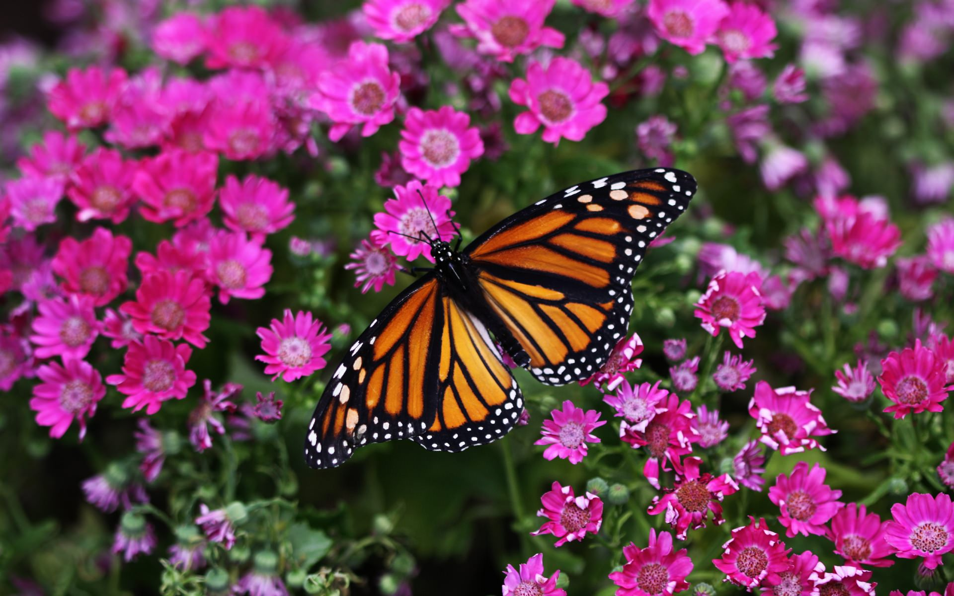 Butterfly on Pestal Flower Background