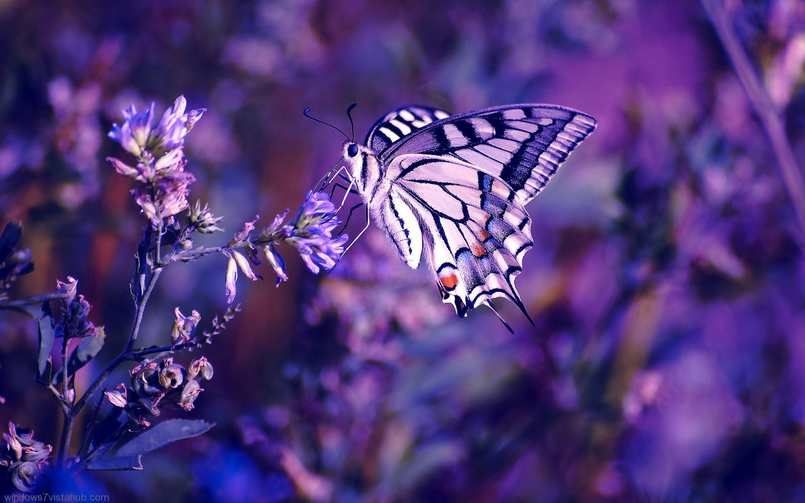 purple butterfly background1