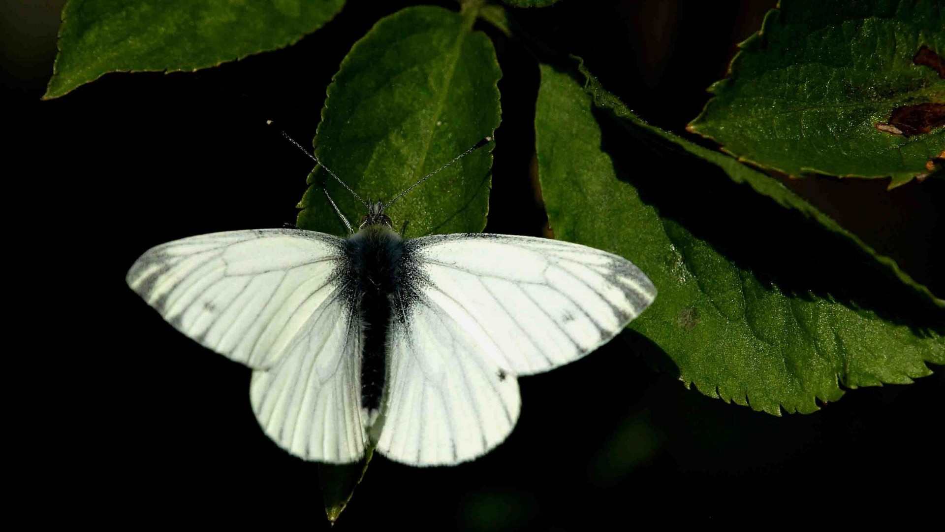 White Butterflies Background