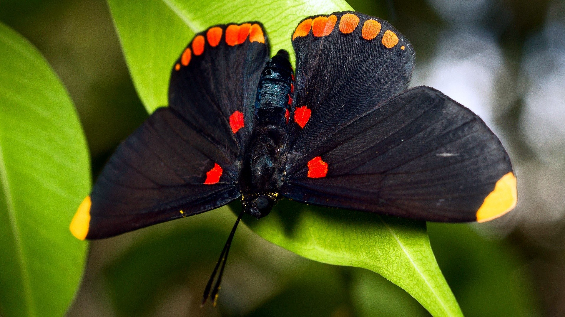 black butterfly background1