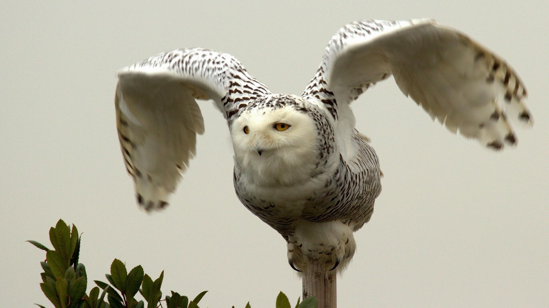 Predator Owl Background