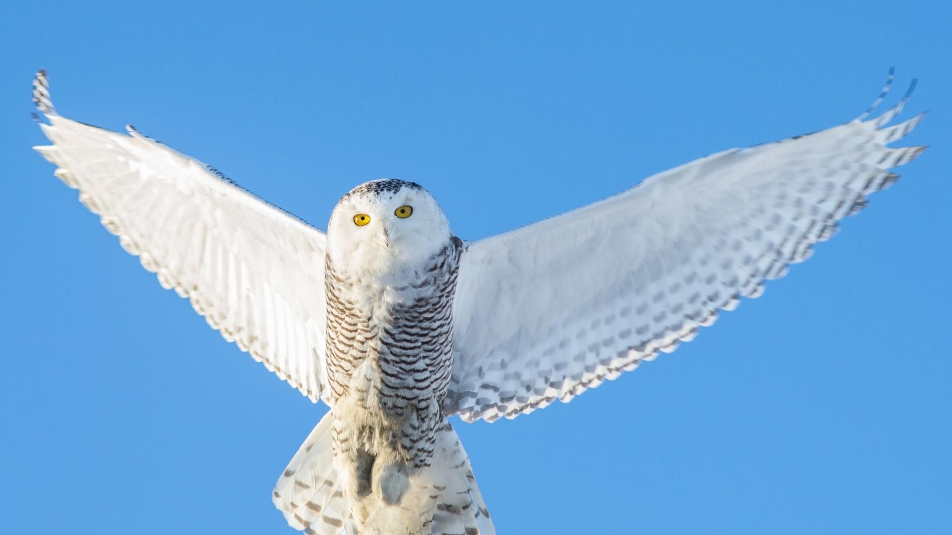 Sky Owl Background Image