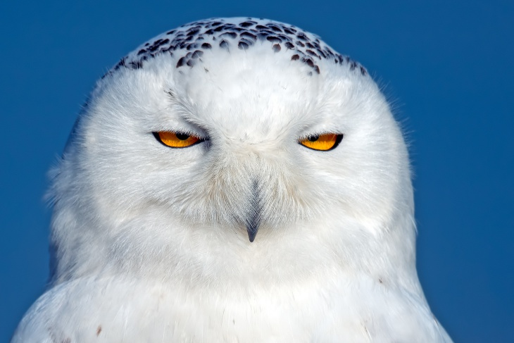White Owl Background