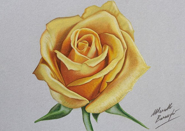 yellow rose flower drawing1
