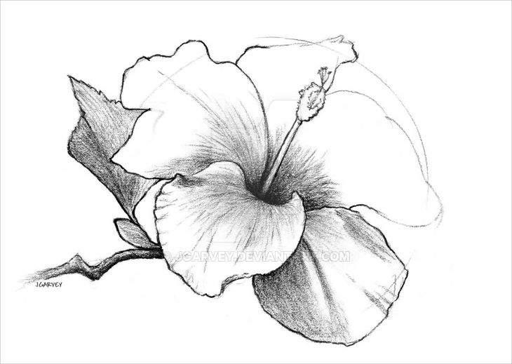 hibiscus flower sketch pen drawing