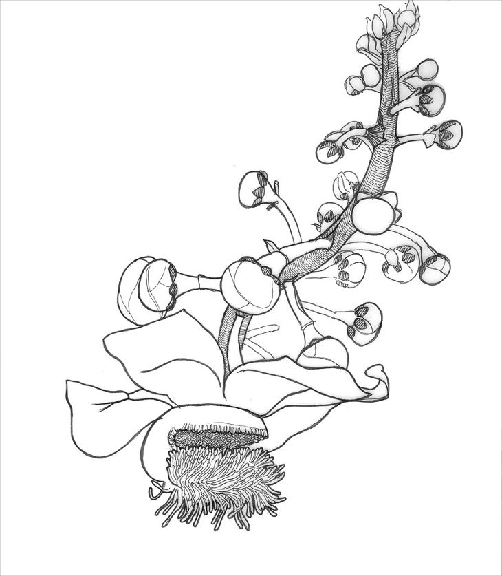 cannonball flower drawing