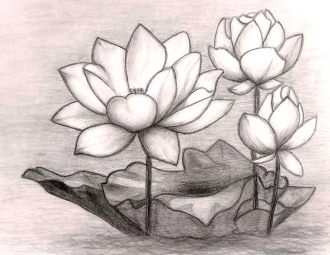 pencil drawing of lotus