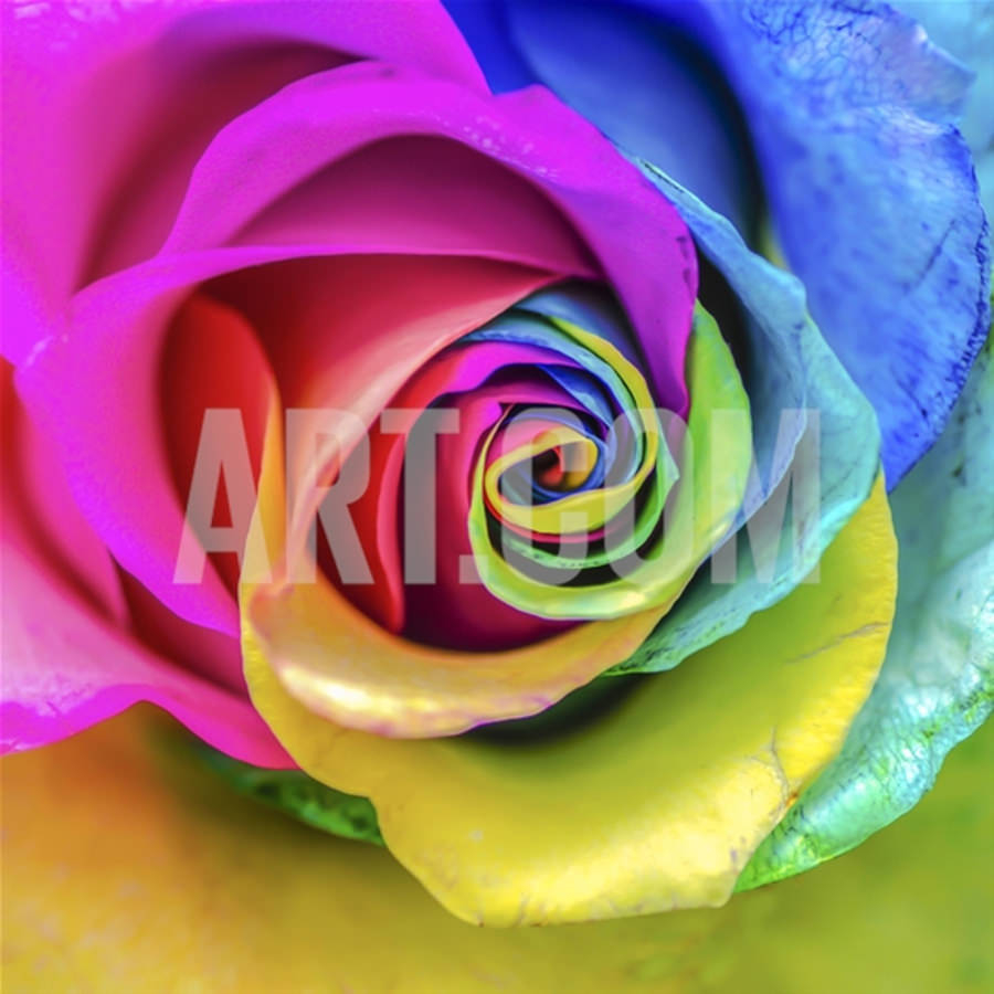 Beautiful Rainbow Rose Painting