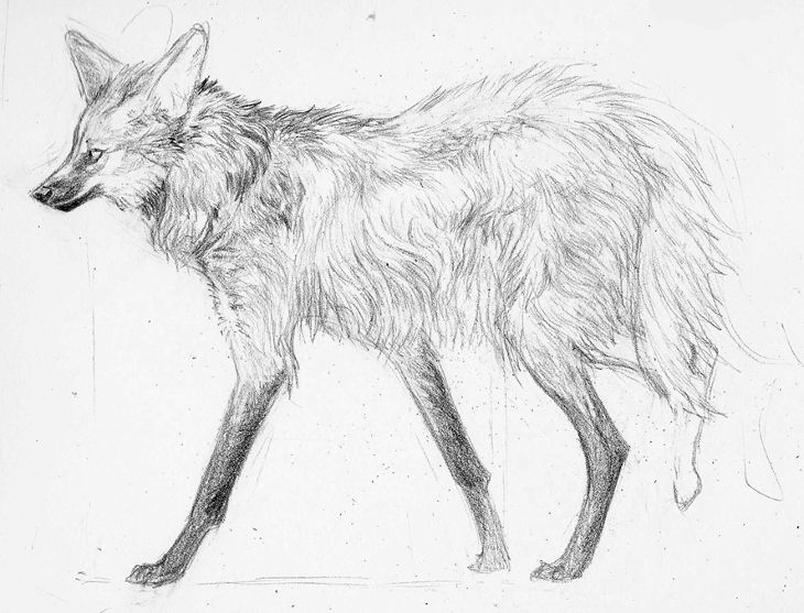 maned wolf drawing1