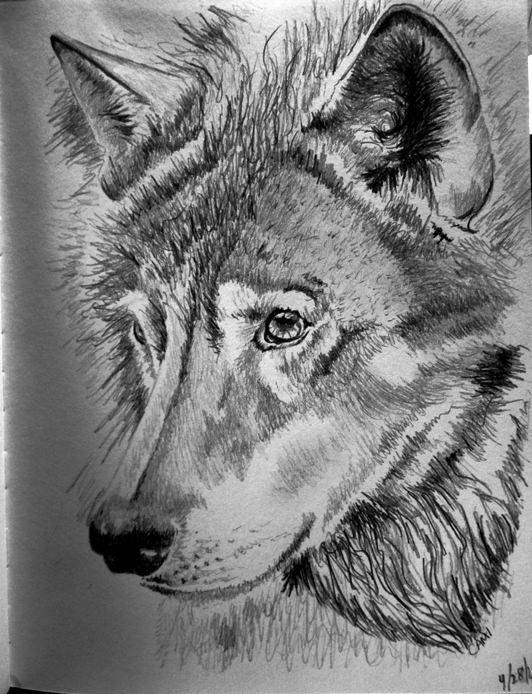 Shaded Wolf Drawing
