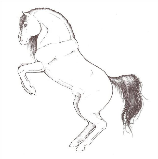 Rearing Horse Sketch