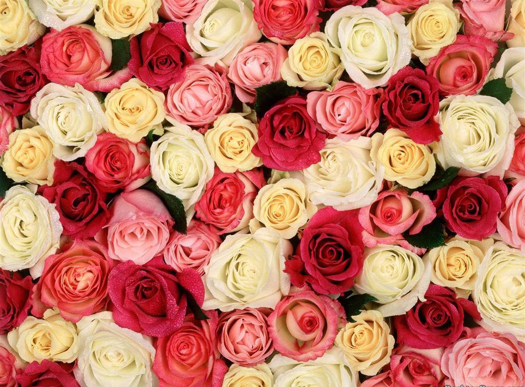 Beautiful Roses Desktop Wallpaper