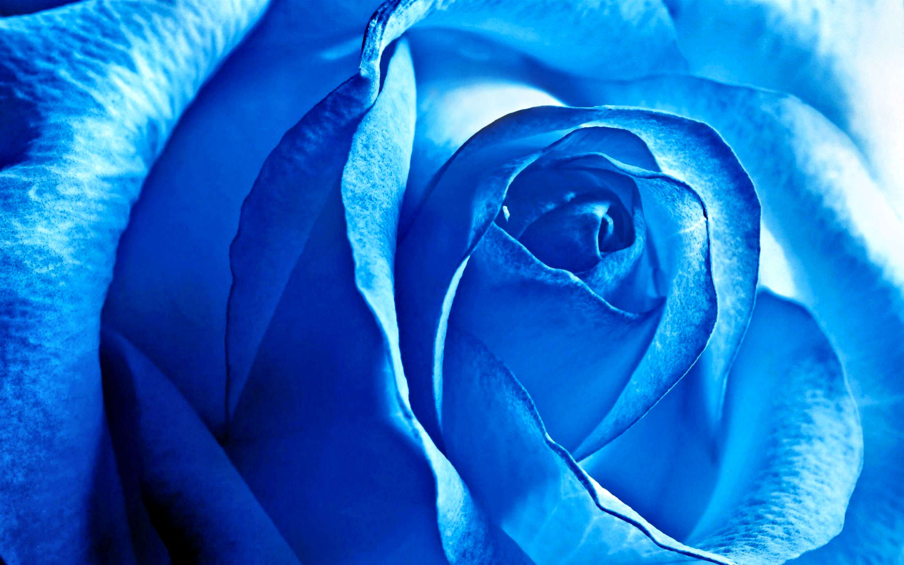 Blue Colored Rose Background
