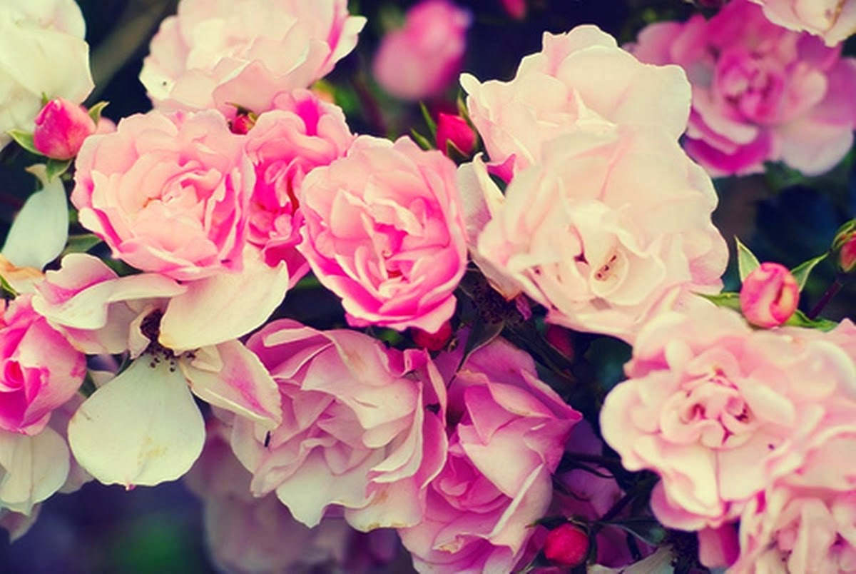 Pink Roses Wallpaper For Facebook