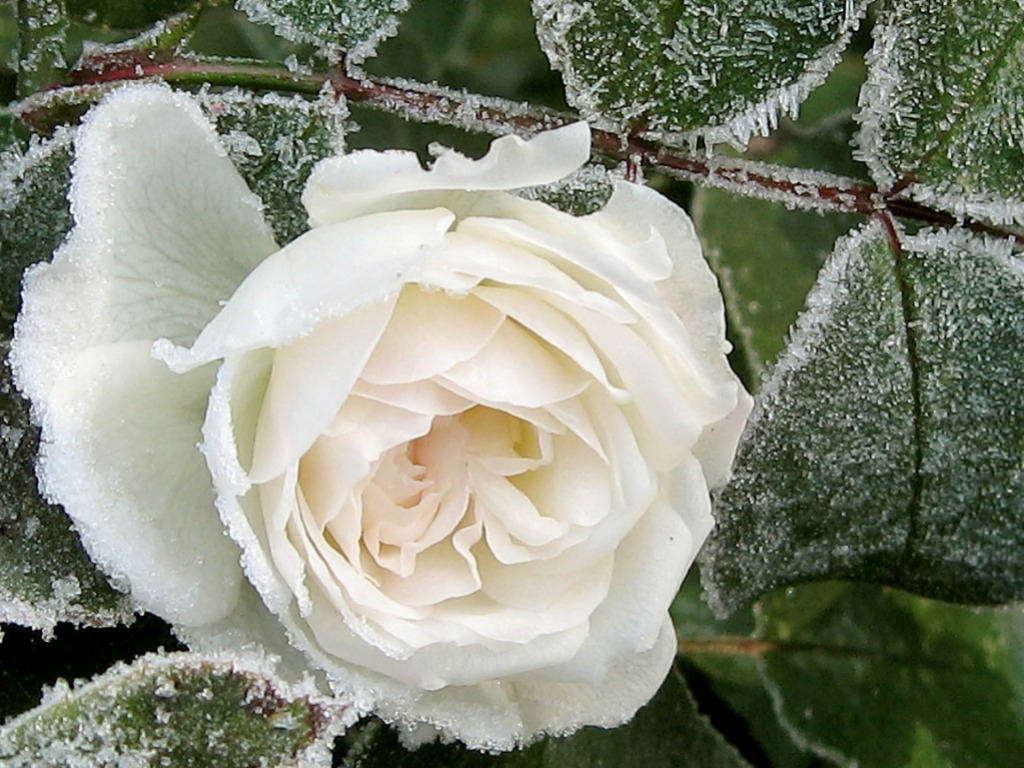 Rose in Snow Background