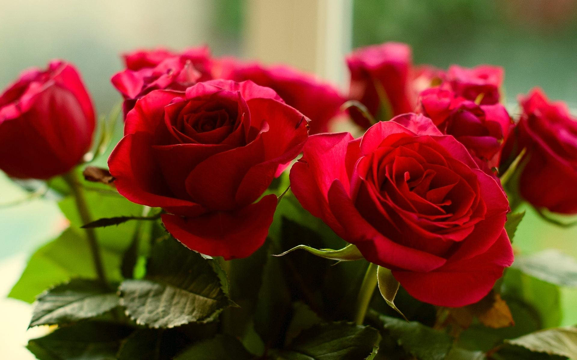 Shining Red Roses Wallpaper