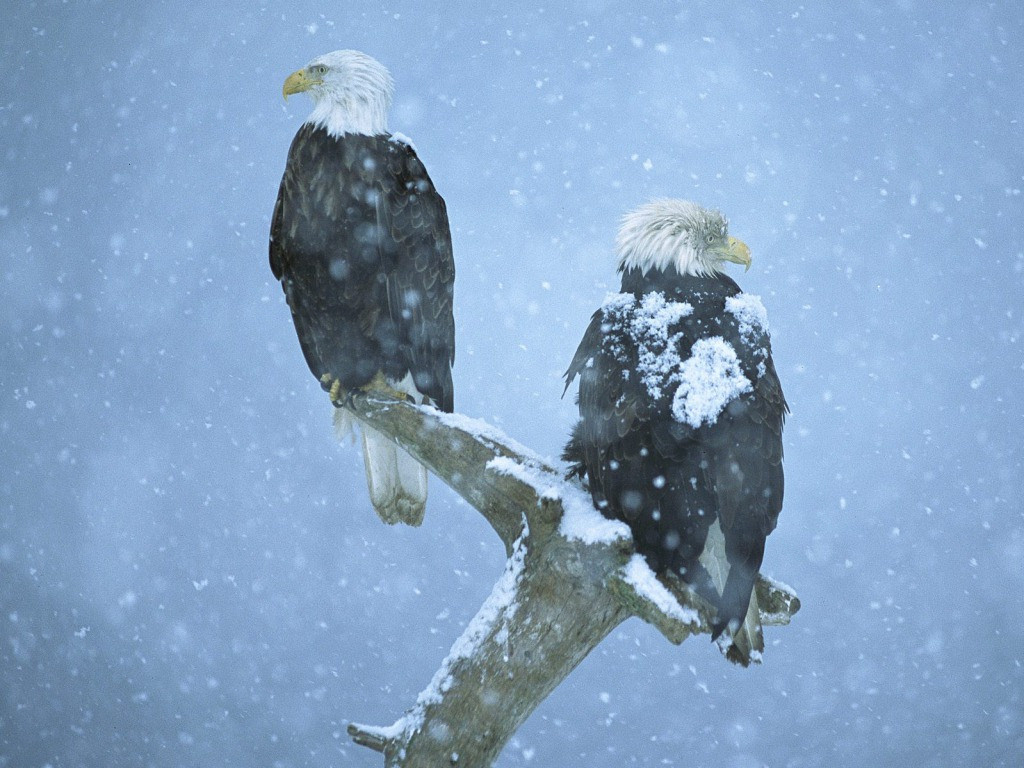 Eagle Birds In Snowfall Background