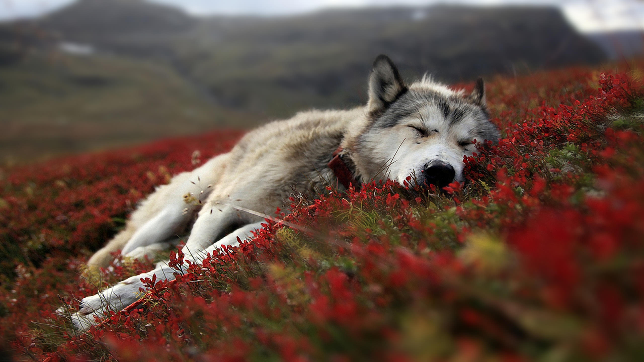 Sleeping Wolf Background