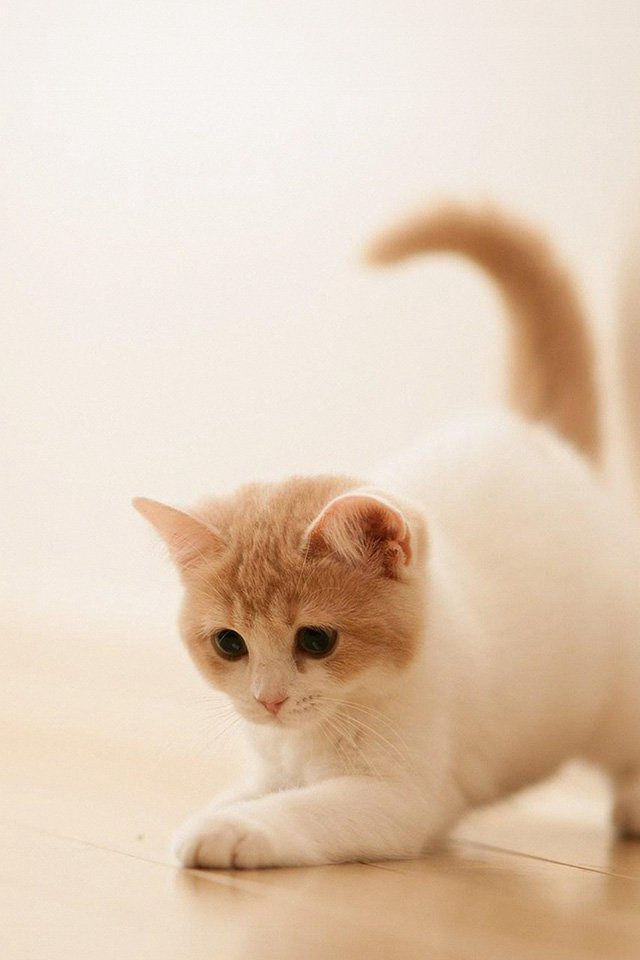 cute cat kitten animal iphone 4s wallpaper