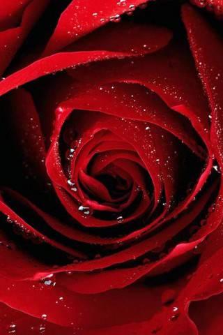 cvety rasteniya rozy 36075