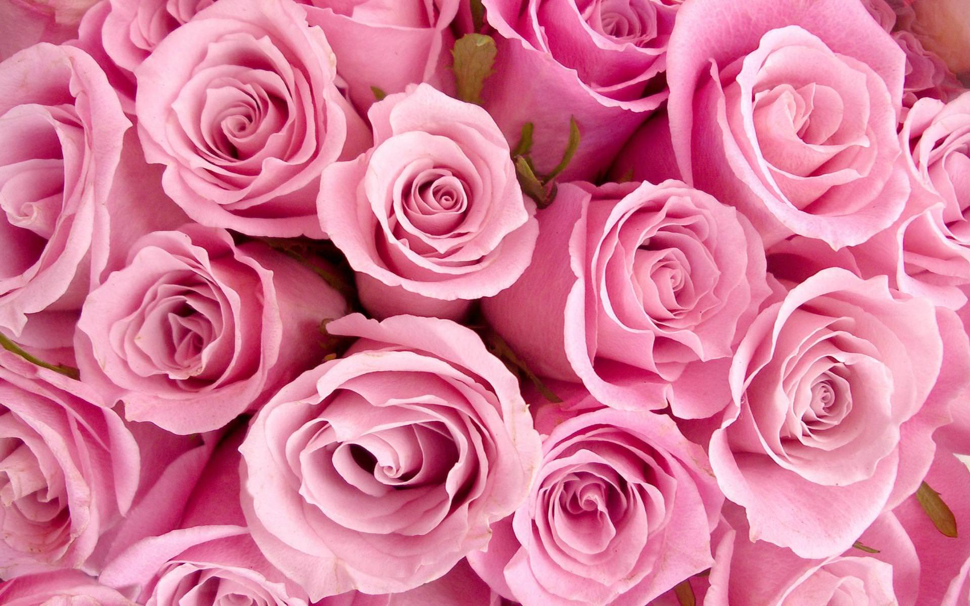 Amazing pink background images design trends premium - Pink rose black background wallpaper ...