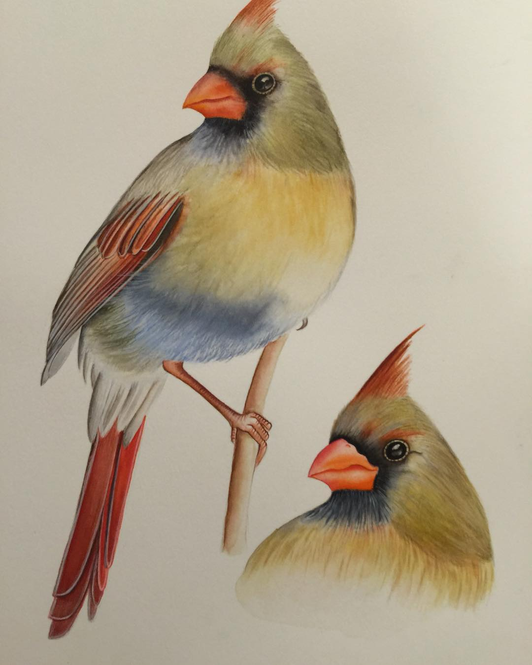 beautiful cardinal bird drawing
