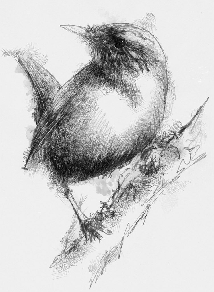 sparrow pencil drawing