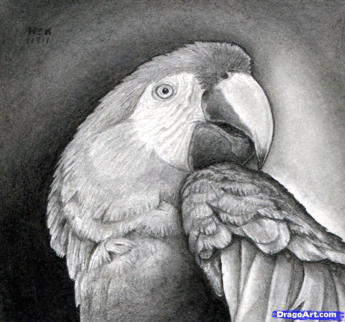 realistic parrot drawing