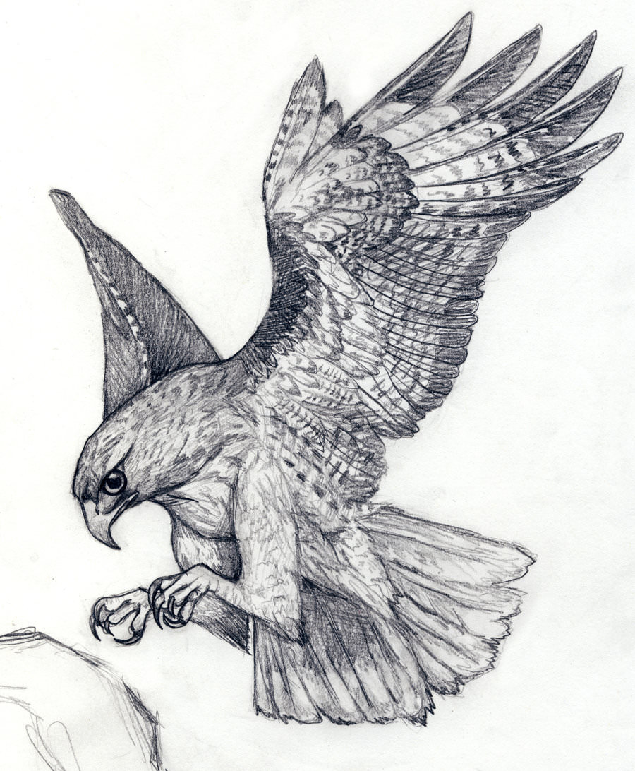 hawk landing drawing