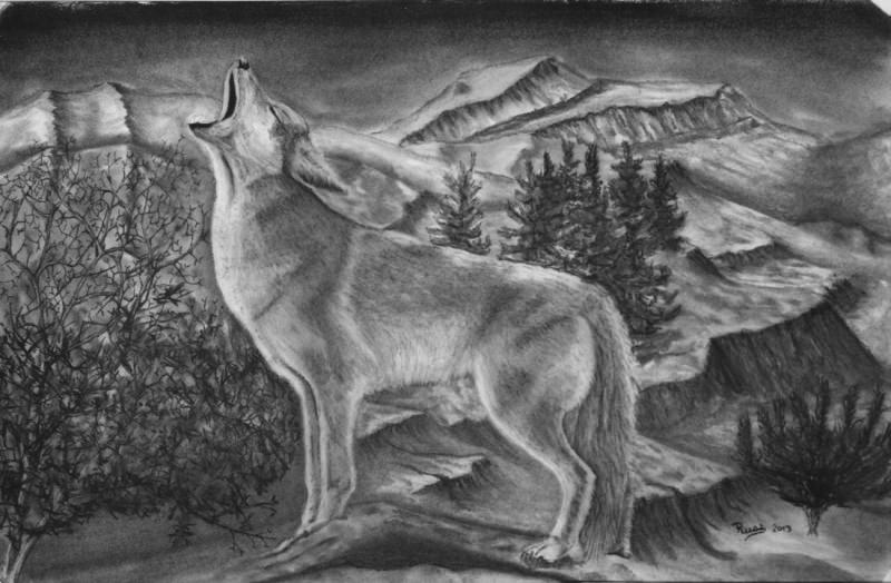 charcoal drawing of a coyote the morning call
