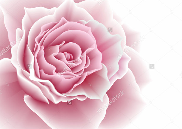 pink rose beautiful vector
