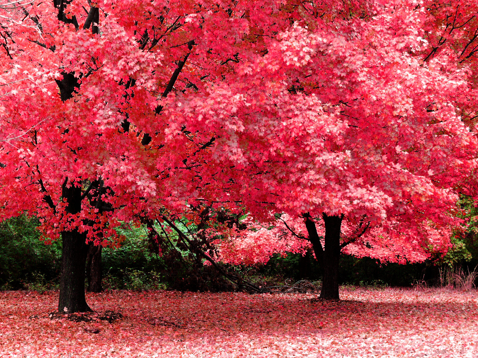 beautiful rose pink leaves fall wallpaper1