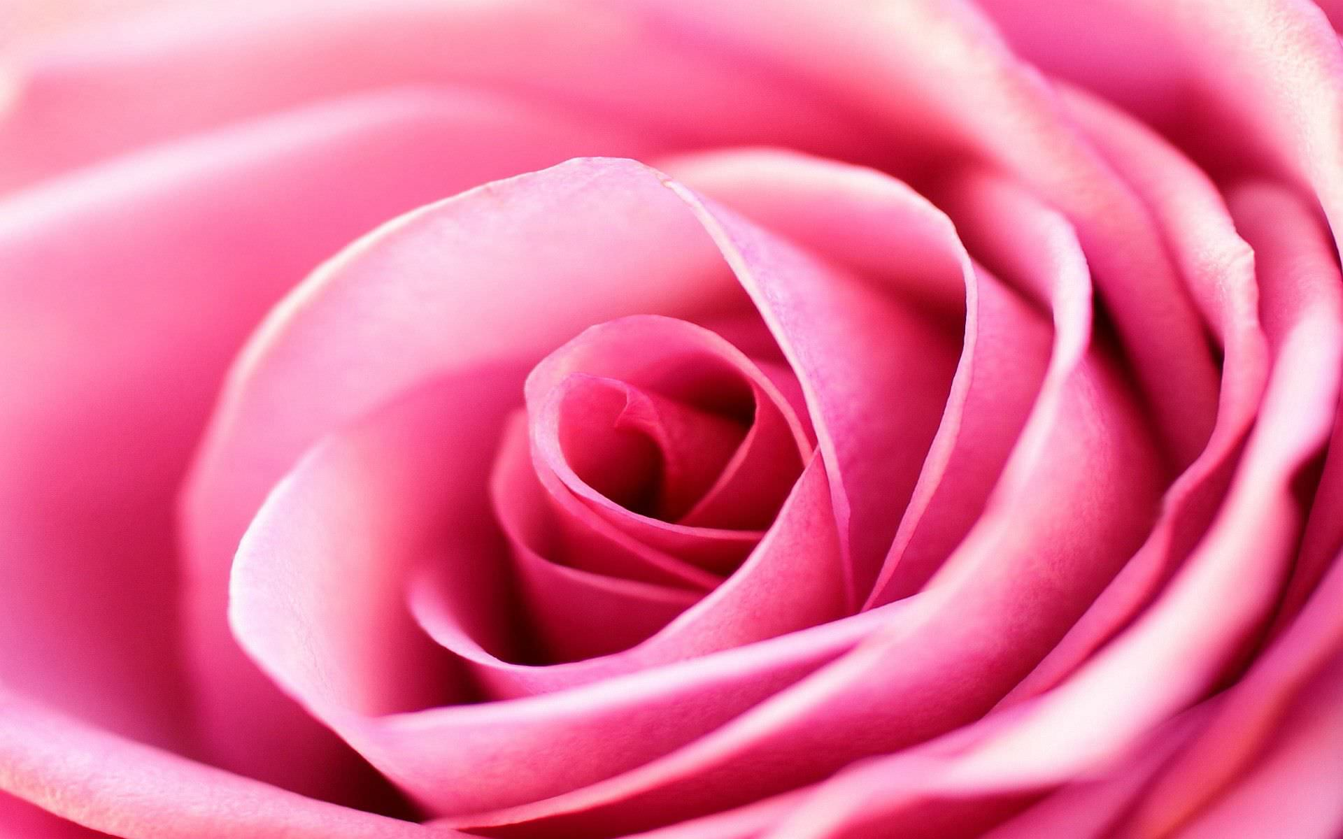 29 roses backgrounds wallpapers images pictures - Pink roses background hd ...