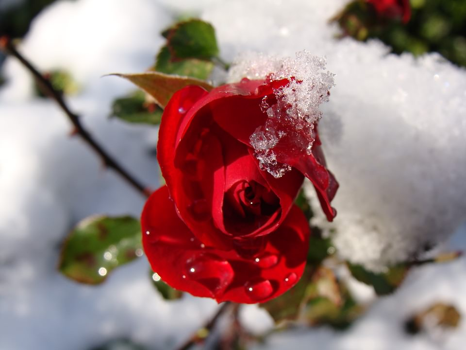 red rose with snow background