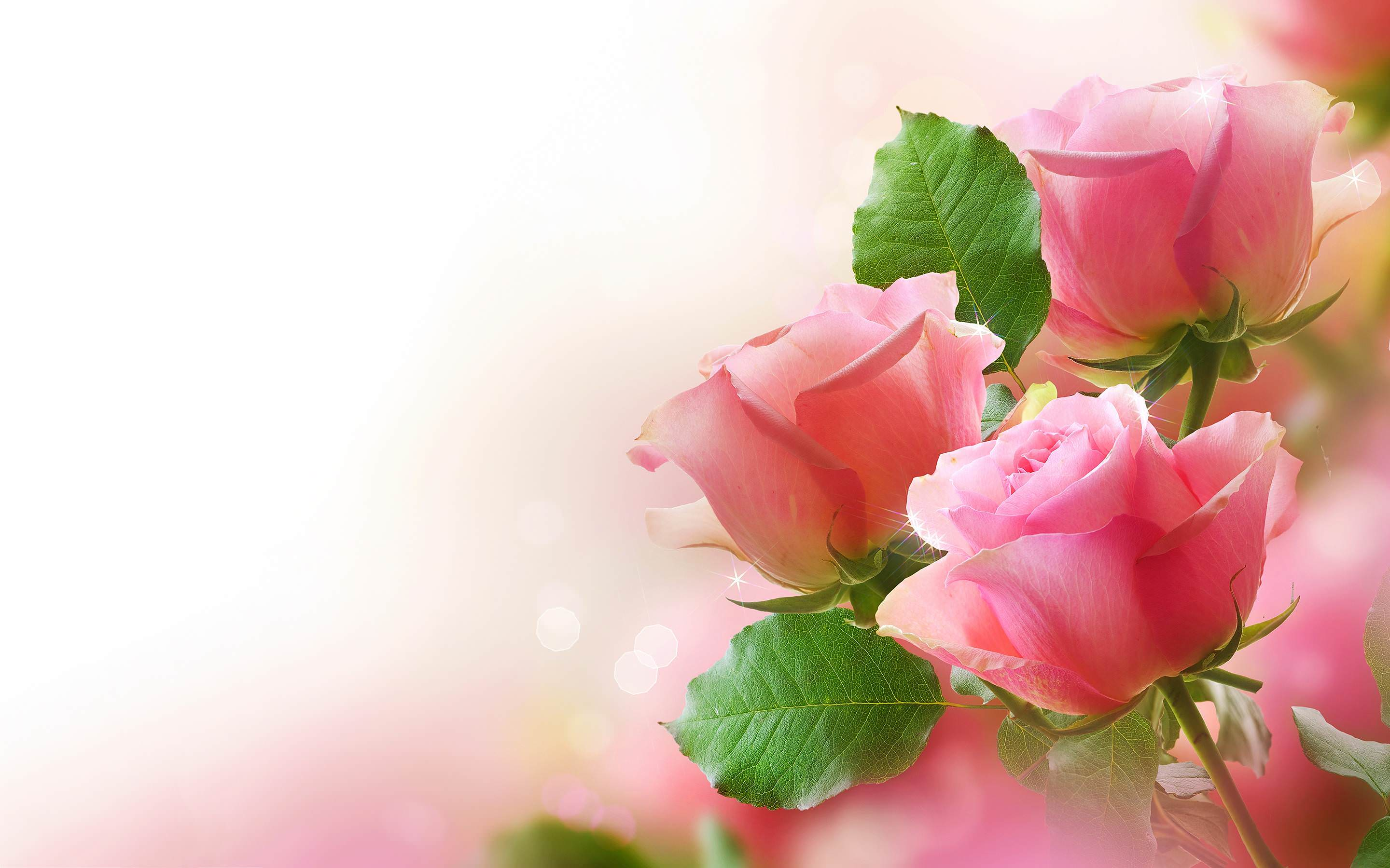 29 Roses Backgrounds Wallpapers Images Pictures Design
