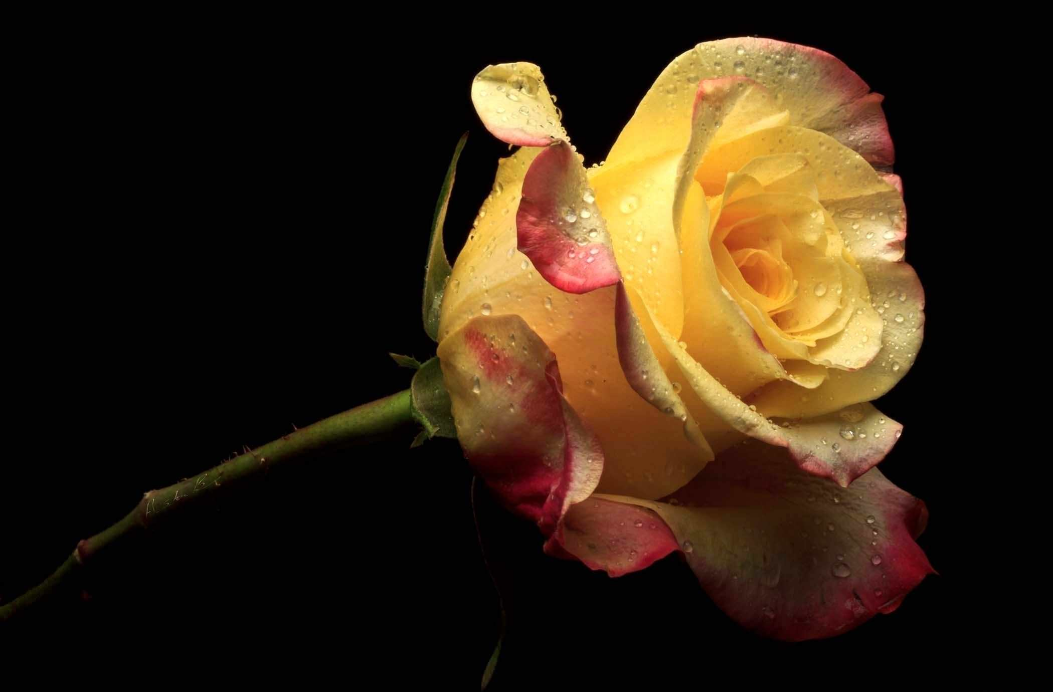 Yellow Rose Crazy Wallpaper Background