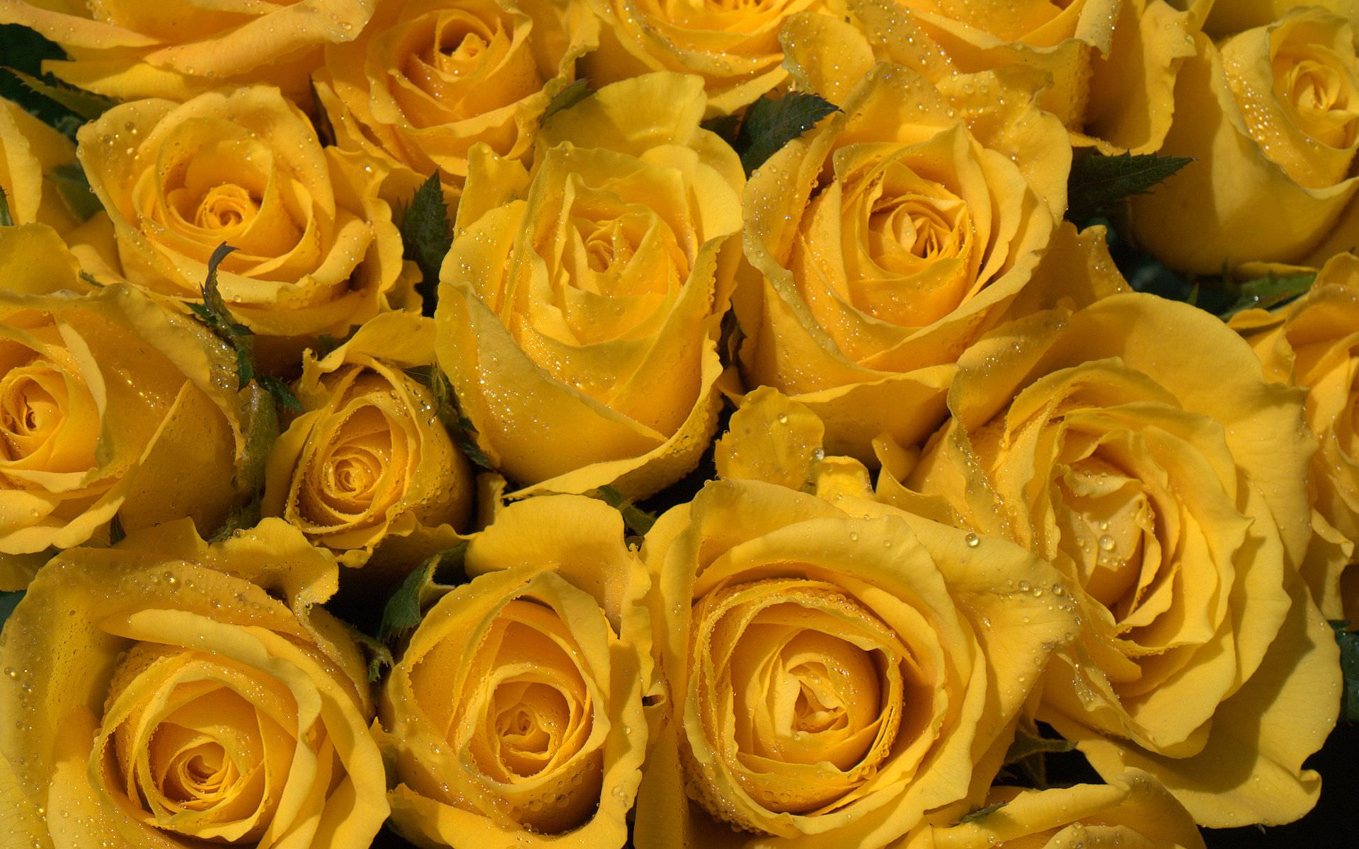 water drops on yellow roses background