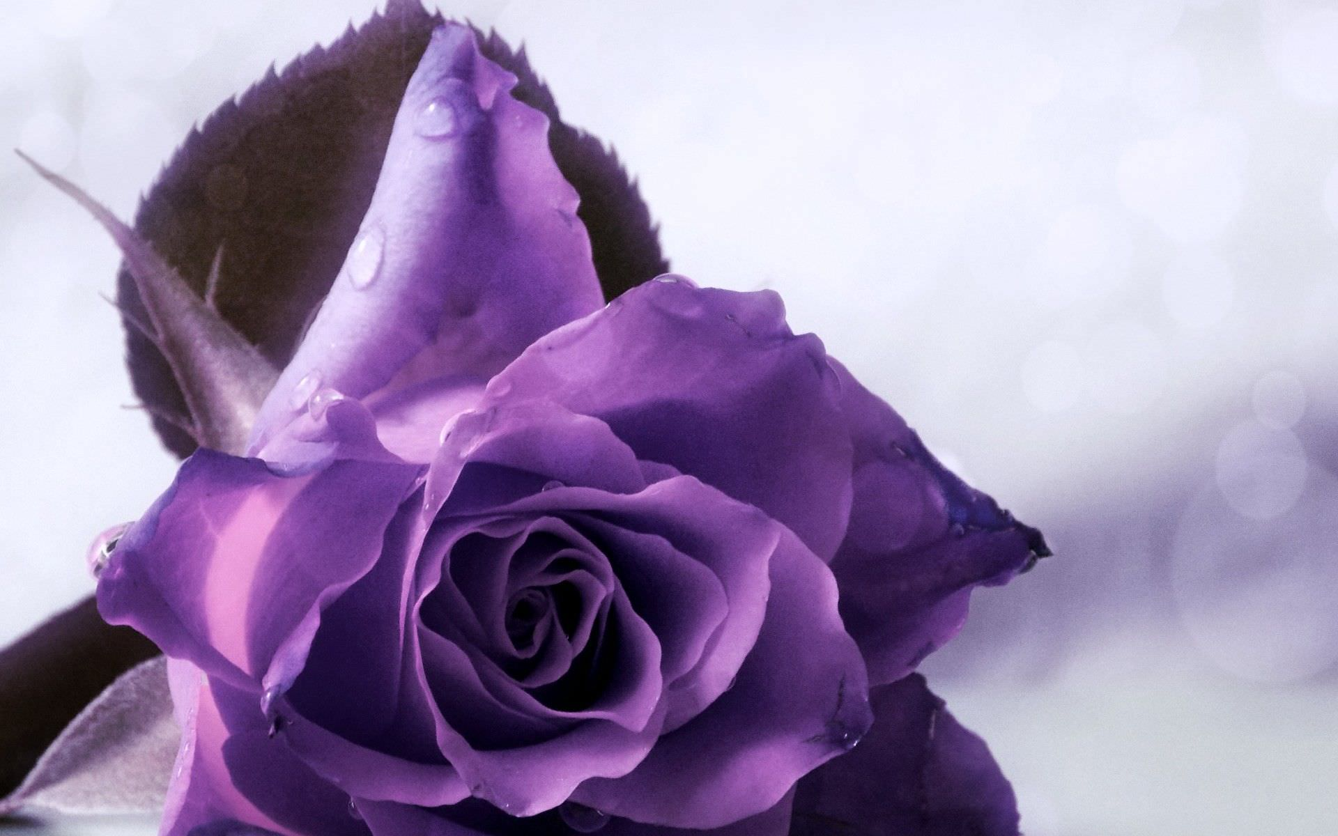 Purple Roses Background Images: 29+ Roses Backgrounds, Wallpapers, Images, Pictures