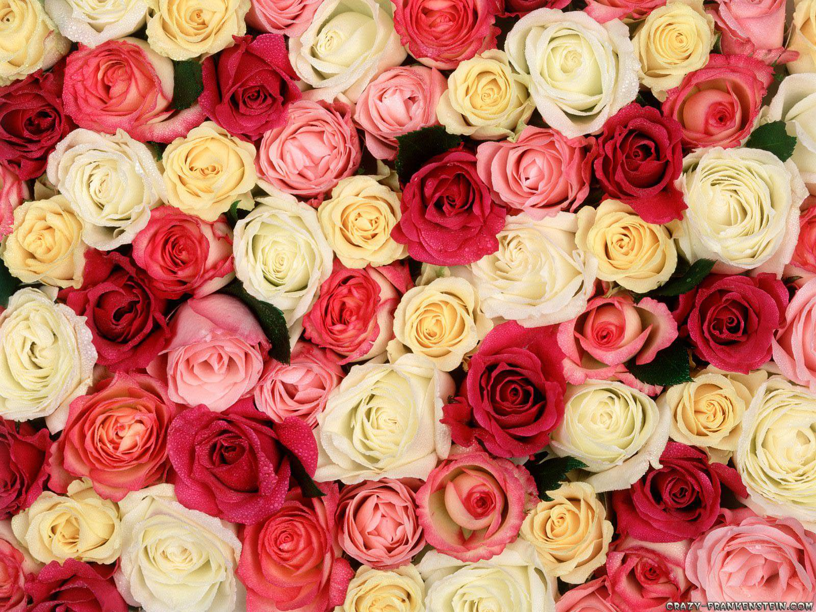 29+ Roses Backgrounds, Wallpapers, Images, Pictures
