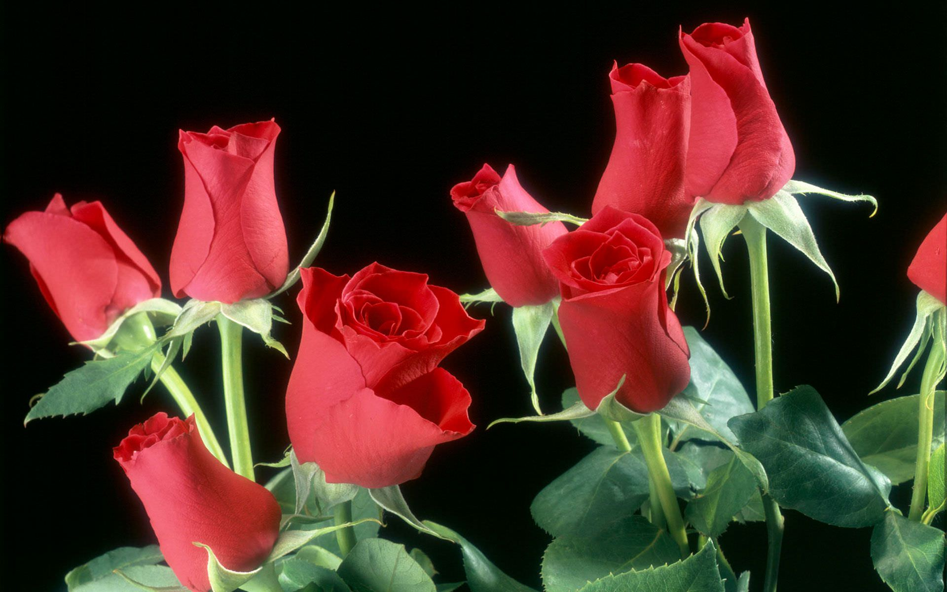 29 roses backgrounds wallpapers images pictures design fresh red roses background dhlflorist Image collections