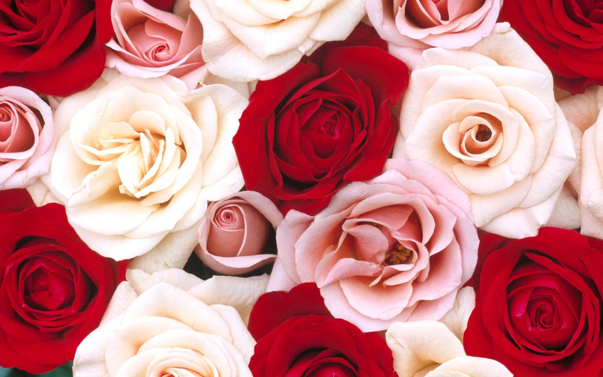 Live Roses Wallpaper Design