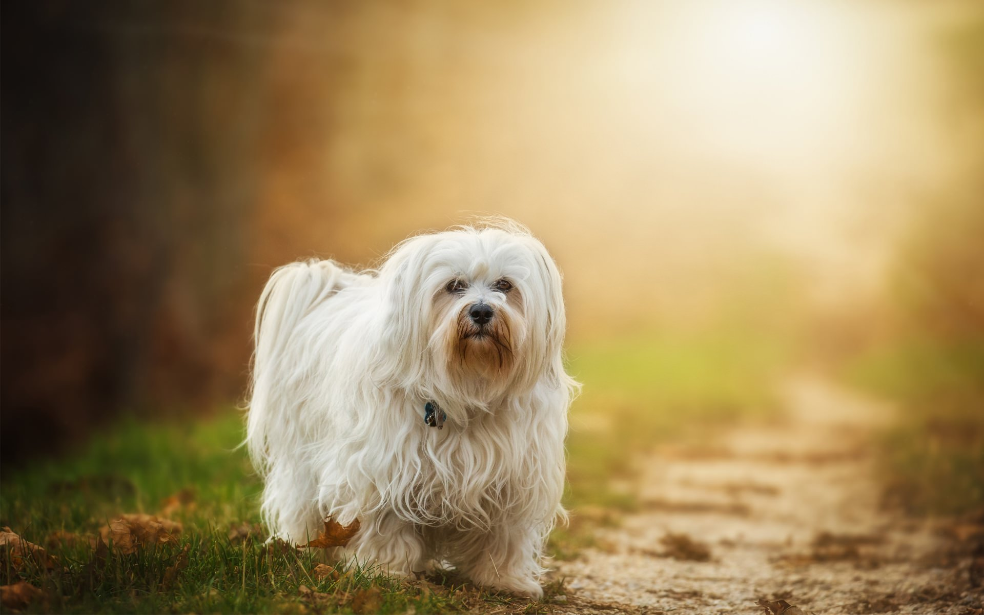 Awesome Pretty Havanese Dog Background