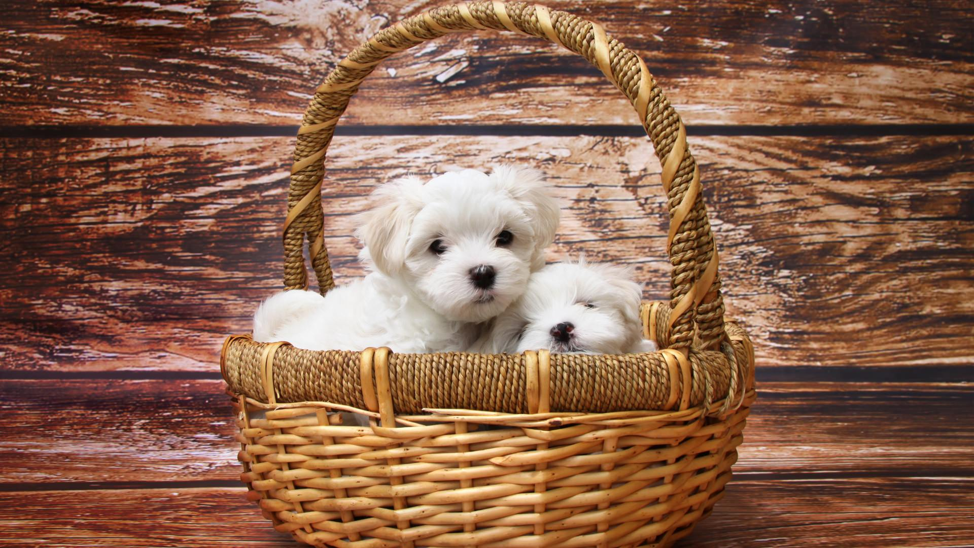 Cute Maltese Dogs Wallpaper