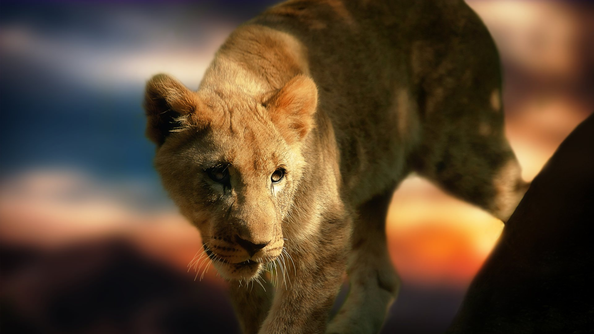 Nice Wallpaper of Lion Cub
