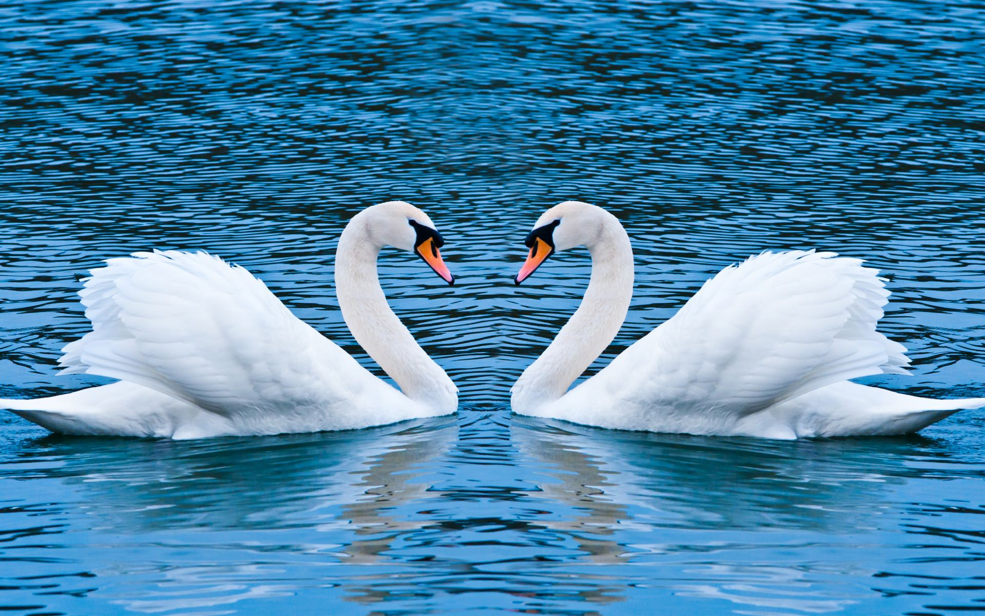 Love of Swan Awesome Background